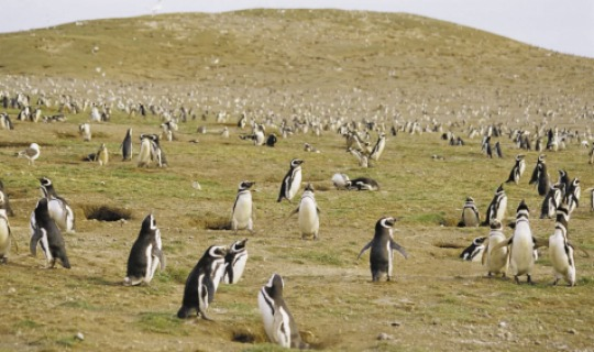 Beobachten Sie die Pinguine