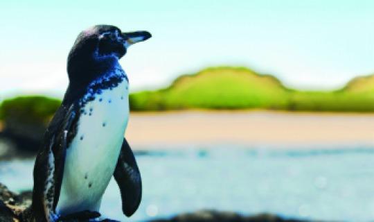 Süßer Galapagos Pinguin
