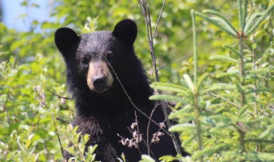 Ein neugieriger Schwarzbär auf Vancouver Island