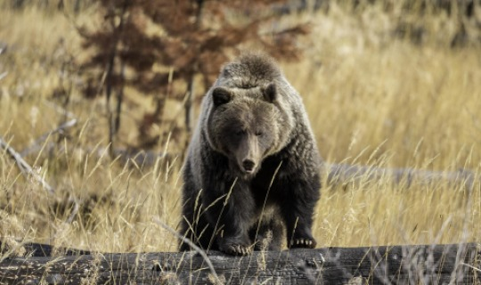 Den Grizzly sollte man aus gebührendem Abstand bewundern